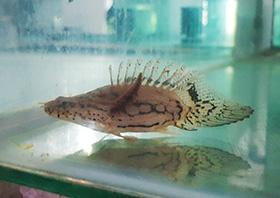 Short body Endlicherri Bichir Grade AAA